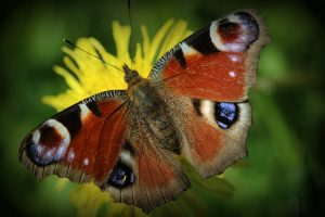 Multi-level selection and butterfly